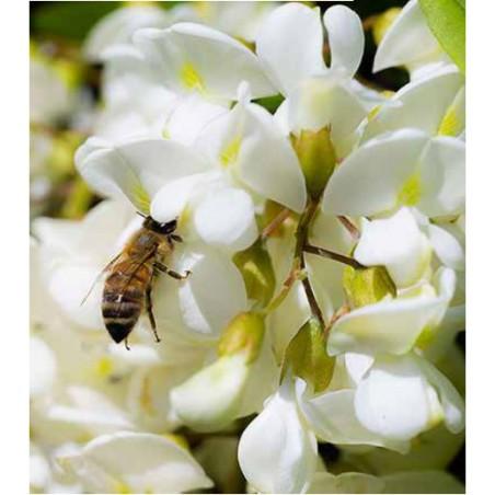 Acacia, Italian Honey from Trentino
